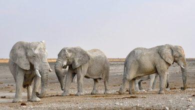 Autorizaciones para cazar elefantes